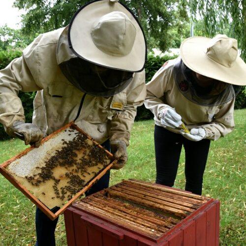 Poddawanie matki pszczelej do ula przy starostwie